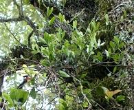 Struthanthus uraguensis