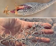 Tillandsia landbeckii