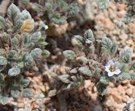 Tiquilia litoralis
