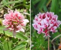 Trifolium polymorphum