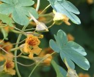 Tropaeolum ciliatum