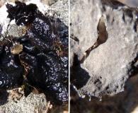 Umbilicaria nylanderiana