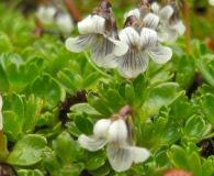 Viola tridentata
