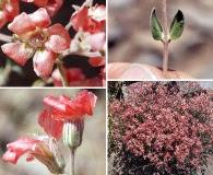 Viviania marifolia