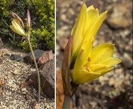 Zephyranthes gilliesiana